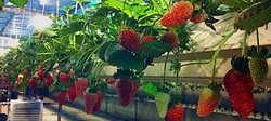 Strawberry in TEDEN-500 TST